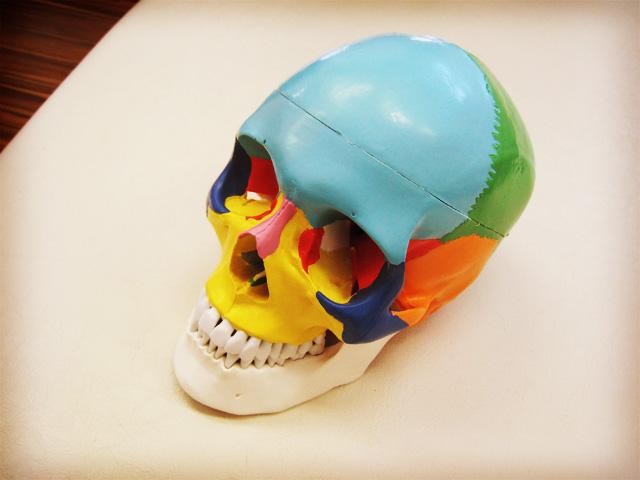 頭部モデル